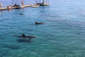 Dauphins en liberté à Dophin Reef à Eilat en Israel