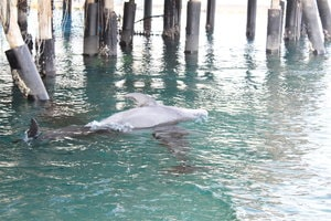 Dauphins s'amusant a Dolphin Reef a Eilat