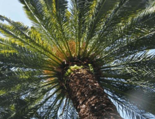 Israël: six dattiers plantés avec des graines de plus de 2000 ans