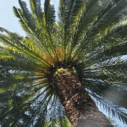 Israel fait pousser des dattiers avec des graines de plus de 2000 ans